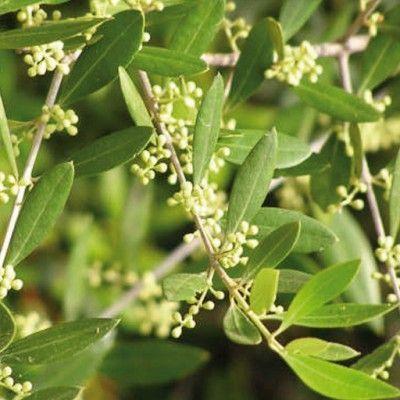 Flores de Bach Olive