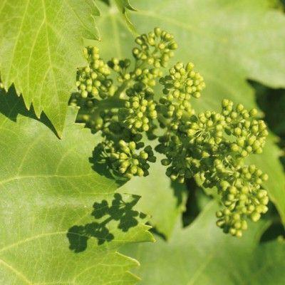 Flores de Bach Vine