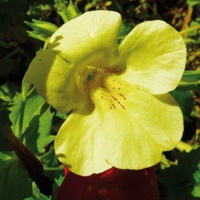 Flores de Bach Mimulus