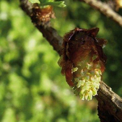 Flores de Bach Larch