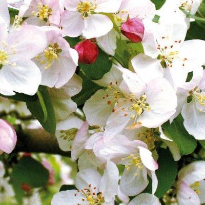 Flores de Bach Crap Apple