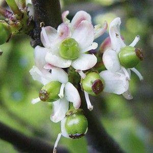Flores de Bach Holly