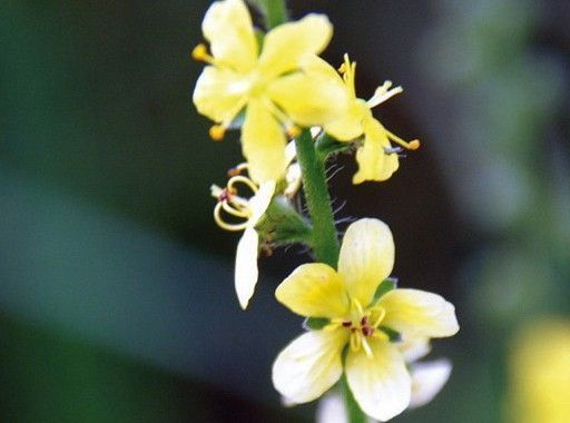 Flores de Bach Agrimony