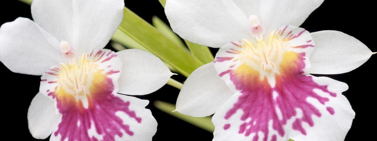 Orquídeas del Amazonas