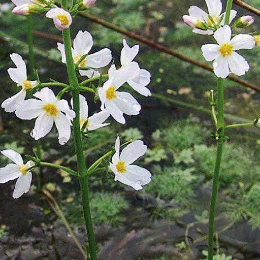 Flores de Bach Water Violet