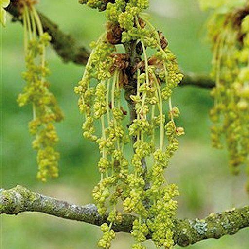 Flores de Bach Oak