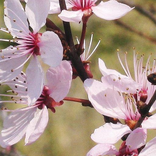 Flores de Bach Cherry Plum