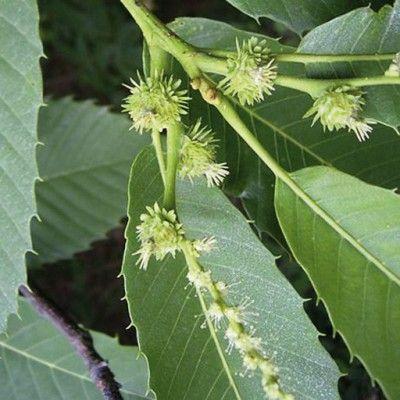 Flores de Bach sweet Chestnut
