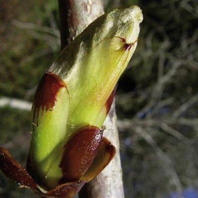 Flores de Bach Chesnut Bud