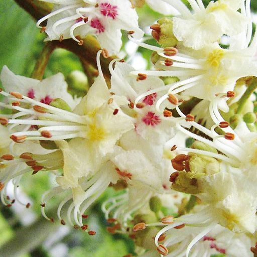 Flores de Bach White Chestnut