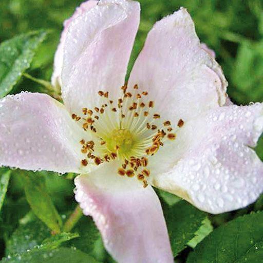 Flores de Bach Wild Rose