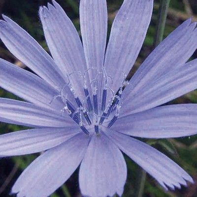 Flores de Bach Chicory