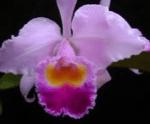 Orquídea Inspiración (Cattleya trianae)