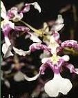 Orquídea Canal (Oncidium incurvum)